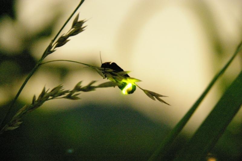 Light of Firefly