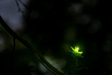 fireflies glow